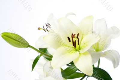 White Lilies and Bulb