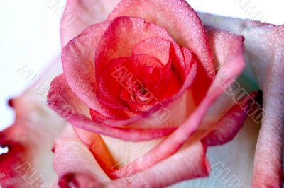 Up Close Pink Rose