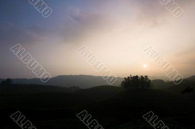 Tea Fields at Sunset