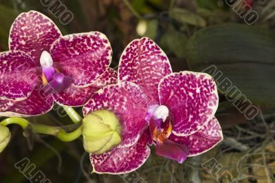 pink splotch orchids