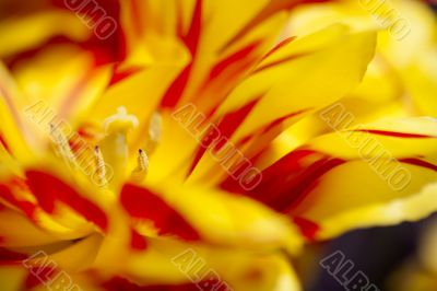 Red and Yellow Tulip Parts