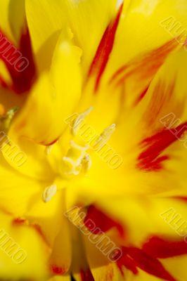 Tulip Stigma and Anthers