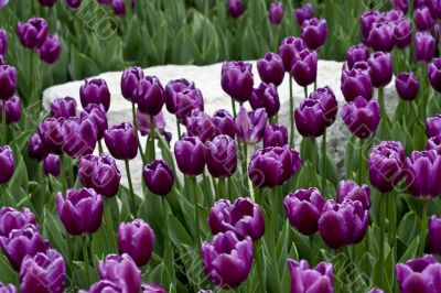 Purple Tulips and White Stone