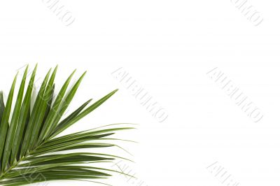 palm frond isolated on white