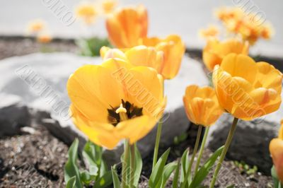 Yellow tulips in a Garden