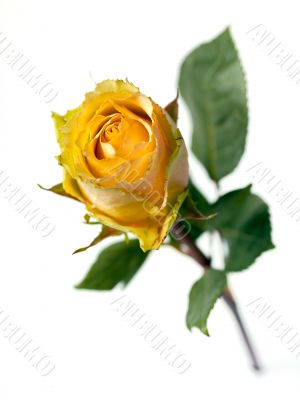 Single Stemmed  Yellow Rose with an Orange Caste