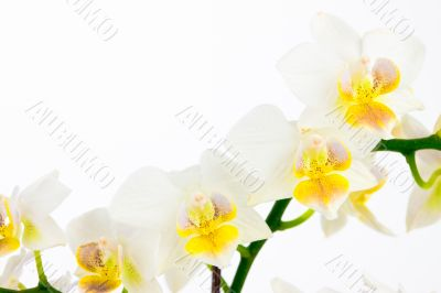 Row of white orchids on isolated background