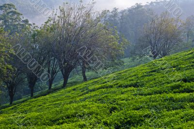 Trees and Tea Plants