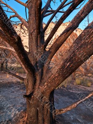 burt tree from fire in zion national park