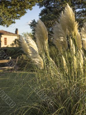 pampas grass in tuscany italy