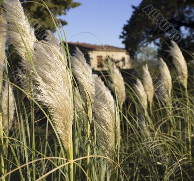 white pampas grass in tuscany
