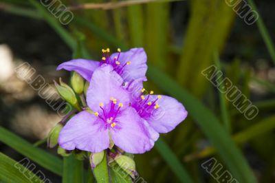 purple needle palm
