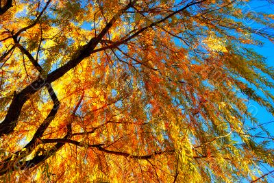 Yellow willow leaves