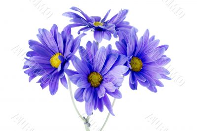 four daisy flowers
