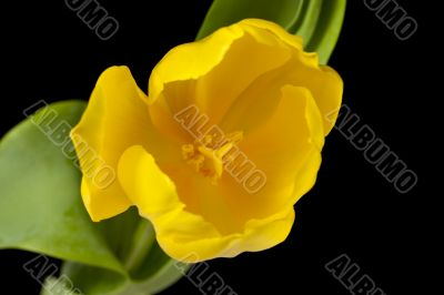 close up shot of yellow tulip