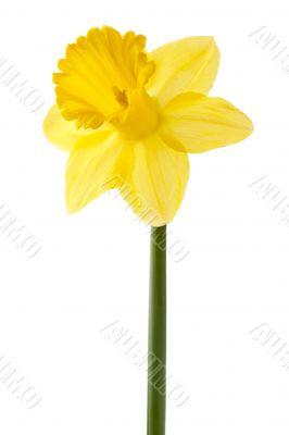 yellow daffodil on a stem