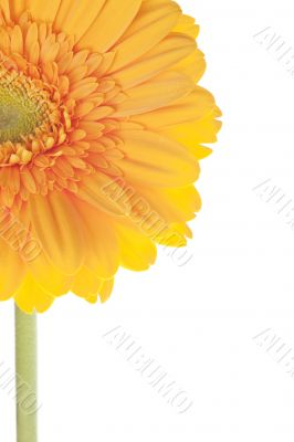cropped image of a yellow daisy