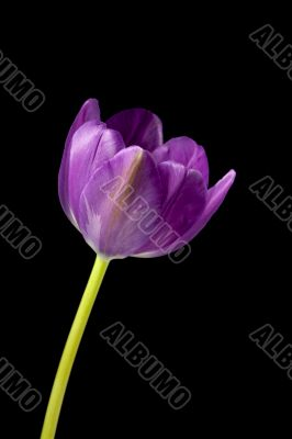 pink flower isolated on dark background