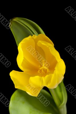 yellow tulip against dark background