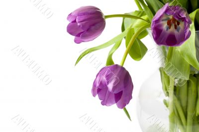 close up image of violet tulips