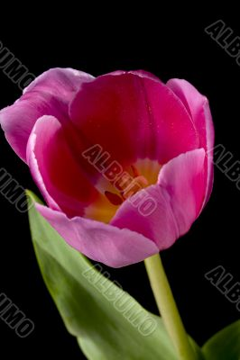 view of pink tulip flower