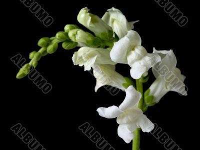 white flowers against black
