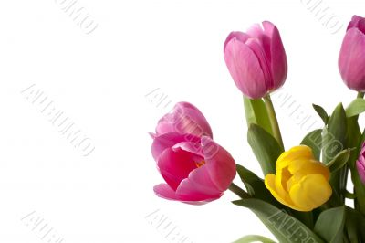 pink and yellow tulips
