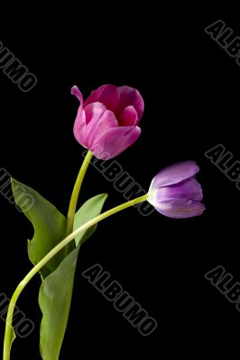 two tulips on dark