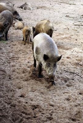 Wild boars herd