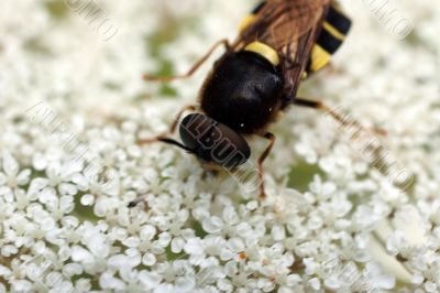 Wasp's mimicry