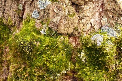 Moss on the old tree bark