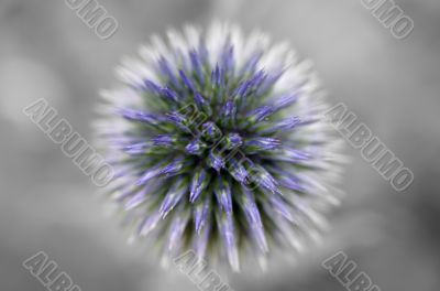 Thistle abstract