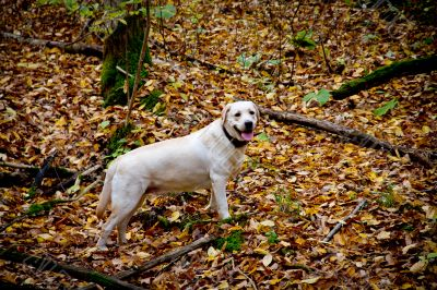 Autumn forest with labrodor retriever