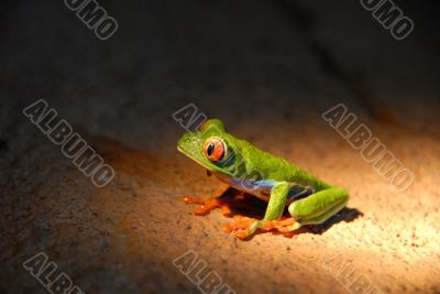 Agalychnis callidryas - Red Eye Frog -