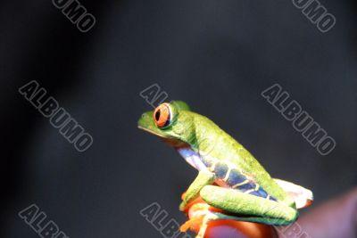 Agalychnis callidryas - Red Eye Frog -