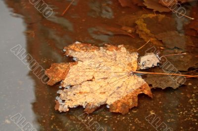 Maple leaf in the puddle