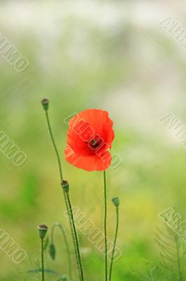 Red pretty poppy