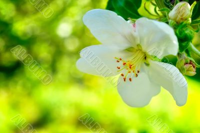 One apple trees flower