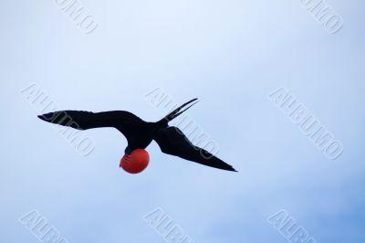 Magnificent Frigatebird (Fregata magnificens)