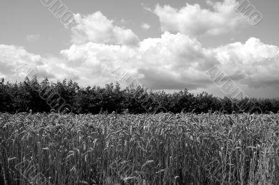 Grain and cherry trees