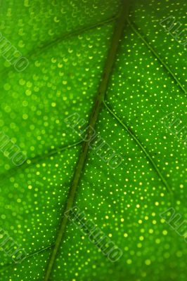 Fresh green leaf close-up pattern of a lemon tree