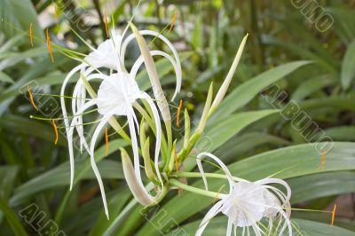 white spider lily flower