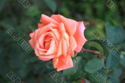 Beautiful and tender flower rose pink. Macro