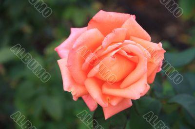 flower of pink roses macro
