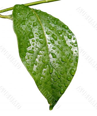 Green dew wet leaf isolated