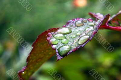 Green dew wet leaf