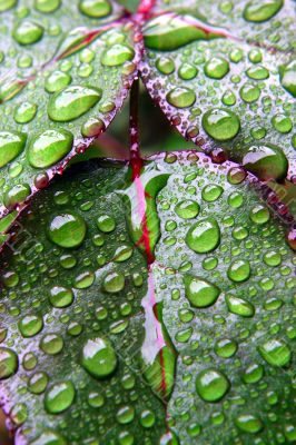 Green dew wet leaves