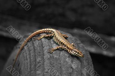 Lizard on a tyre