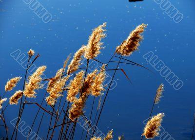 Cane marsh