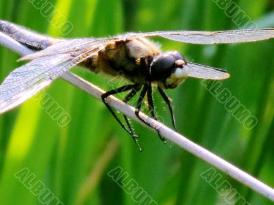 The dragonfly sits on a green leaflet